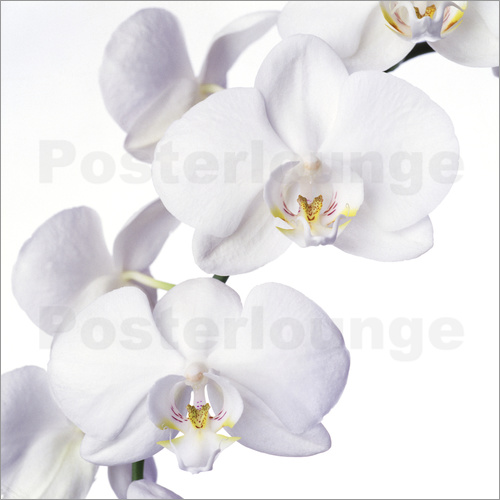 Poster Orchid flowers