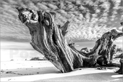 Poster Old Tree Root on the Beach (monochrome)