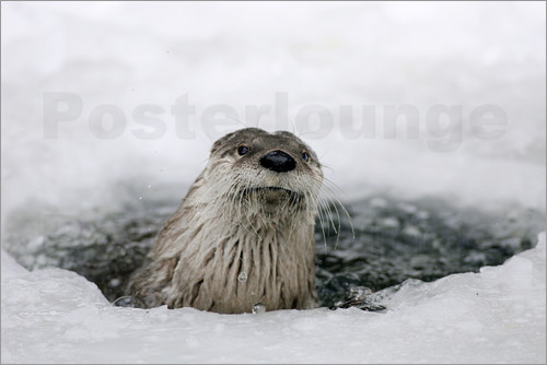 Poster Otter from the ice