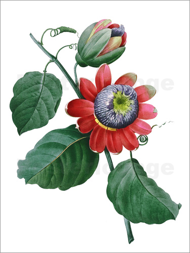 Poster passionflower
