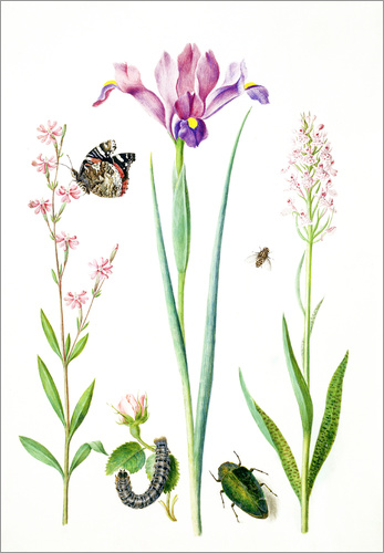 Poster Red catchfly, rose, iris & orchis