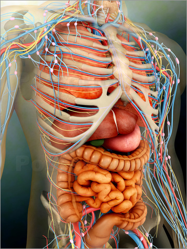 Stocktrek Images - Perspective view of human body, whole organs and bones.