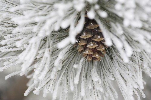 Michael Interisano - Pinecone in frost