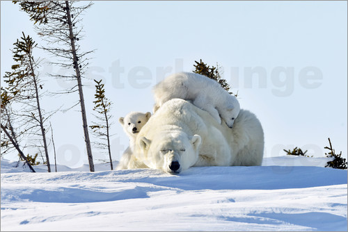 P. Marazzi - Polar bear mother and cubs