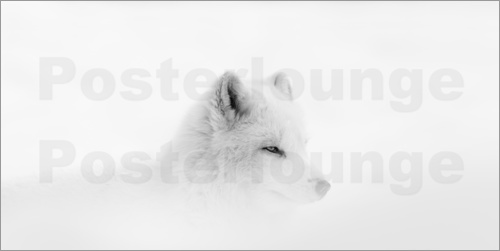 Poster Arctic wolf in the snow