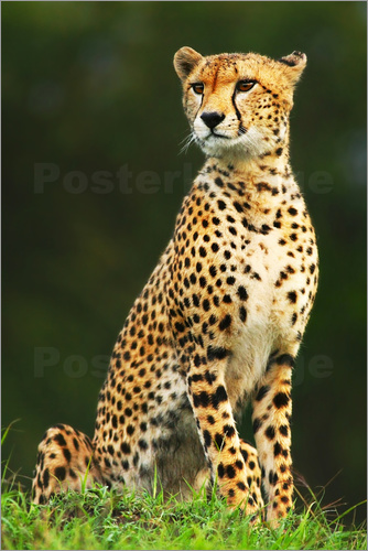 Poster Portrait of an African cheetah