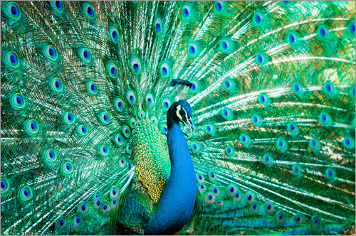 Poster Portrait of a Peacock