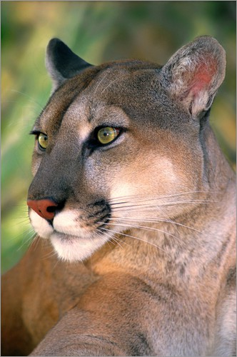 Poster Portrait of mountain lion or cougar at Wildlife Waystation rescue facility