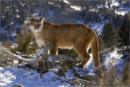 Poster Cougar in the Snow