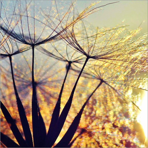 Poster Dandelion in the sunset III
