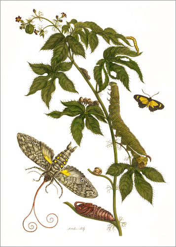 Maria Sibylla Merian - Caterpillars feeding on a plant