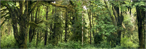 Poster Temperate rainforest