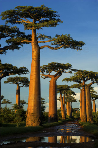 Andres Morya Hinojosa - Huge baobab trees in Madagascar