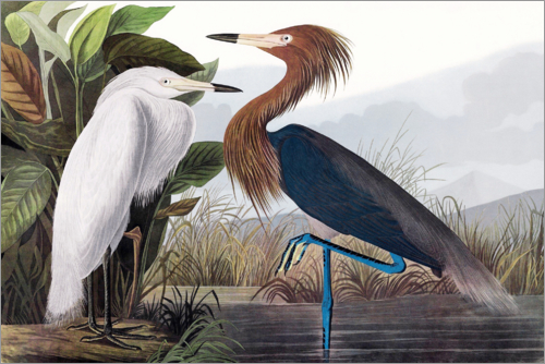 John James Audubon - Reddish Egret