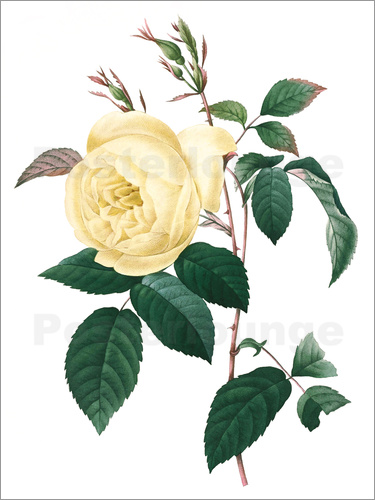 Poster Rosa indica, engraved by Bessin, from 'Choix des Plus Belles Fleurs', 1827