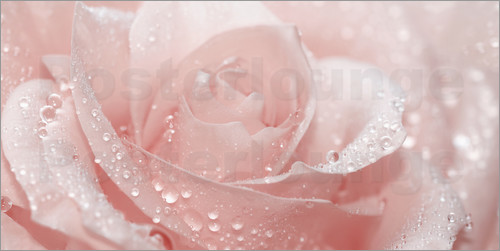 Poster Rose with drops