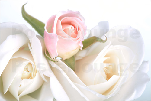 Poster Roses on a white background