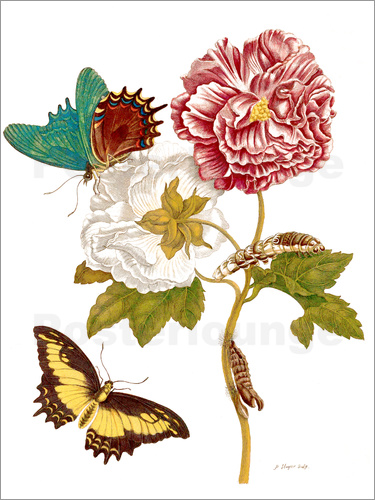 Poster Roses with Lepidoptera Metamorphosis