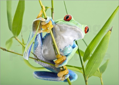 Poster Red-eyed tree frog