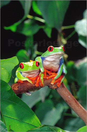 Poster Redeyedtreefrogcouple sitting on a branch