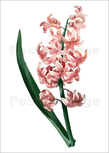 Poster Orient Red Hyacinth