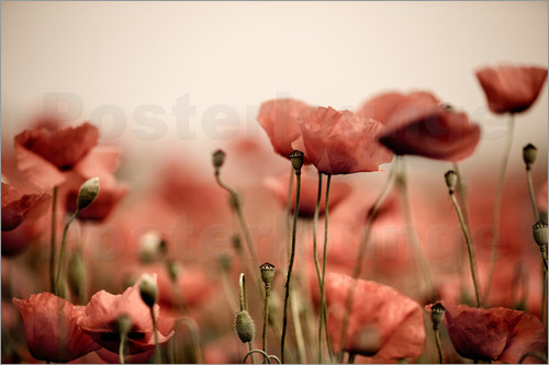 Poster Red Poppy Flowers 05