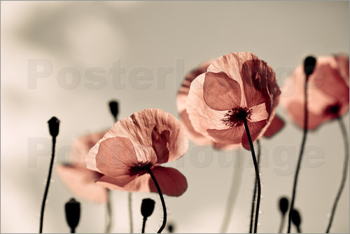Poster Poppy Meadow