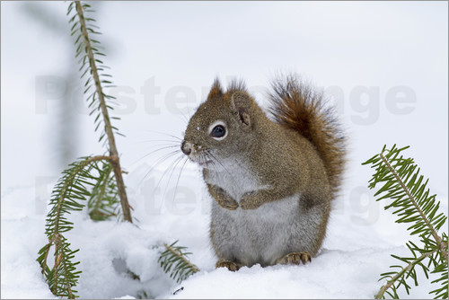 Poster Red squirrel