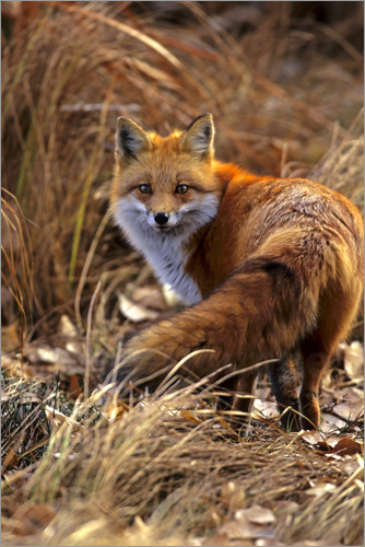 Poster Red Fox looks back