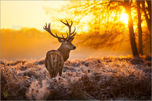 Poster Red Deer in Morning Sun