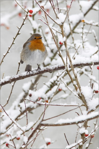 Ann & Steve Toon - Robin, with berries in snow