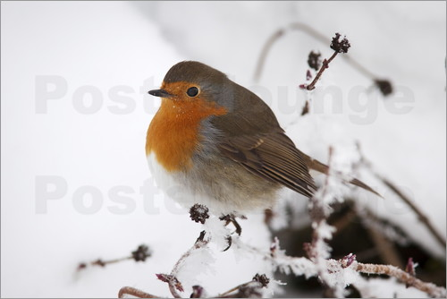Ann & Steve Toon - Robin in winter