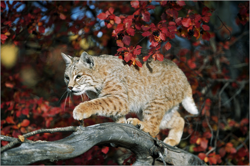 Poster Bobcat (Felis rufus) on a branch