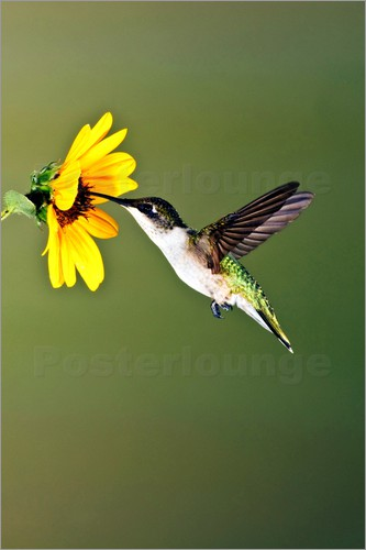 Poster Ruby-throated Hummingbird at sunflower