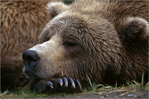 Poster Sleeping brown bear