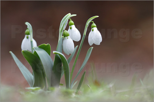 Poster snowdrop