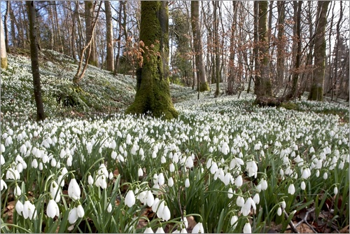 Poster Snowdrops (Galanthus)