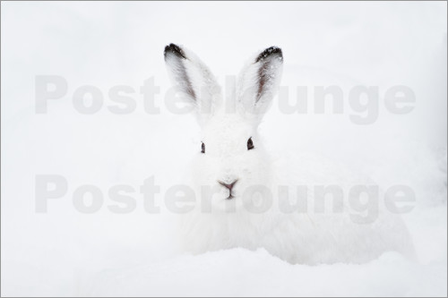 Poster Mountain hare in winter