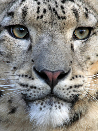 Poster snow leopard