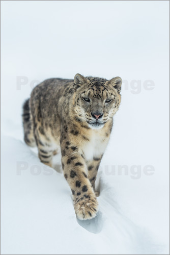 Ingo Gerlach - Snow Leopard in deep snow