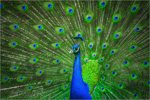 Poster beautiful peacock with feathers