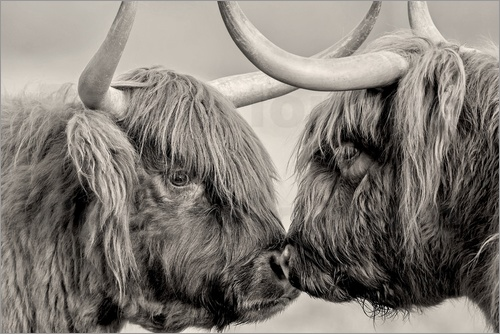 imageBROKER - Highland Cattle, cows greeting each other