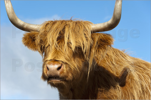 Frauke Scholz - Scottish highland cattle