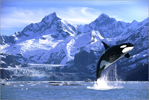 Poster Orca in front of a glacier