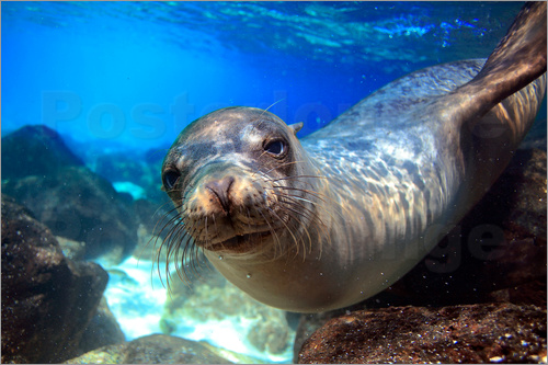 Poster Sea lion underwater portrait