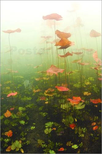 Poster Lily pads underwater