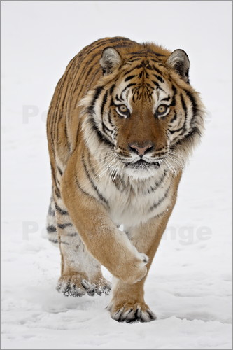 Poster Siberian Tiger in the snow
