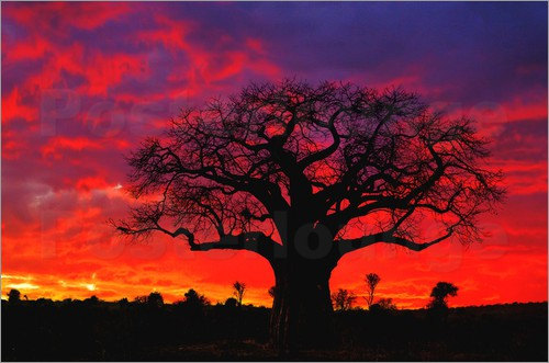 Adam Jones - African baobab tree silhouetted at sunset