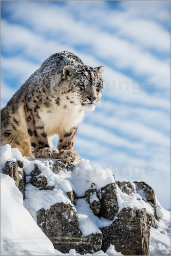Janette Hill - Snow leopard (Panthera india), Montana, United States of America, North America