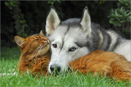 Poster Somali cat and Siberian Husky cuddle up together